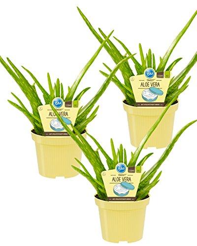 Bio Aloe Vera Sweet, (Aloe vera barbadensis Miller), Kräuter Pflanzen aus nachhaltigem Anbau (3 Pflanzen, je im 12cm Topf)