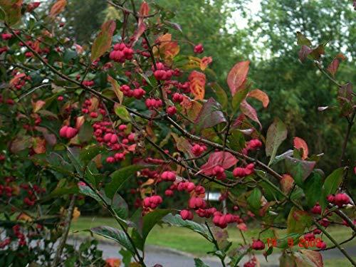Großfrüchtiges Pfaffenhütchen Euonymus planipes Pflanze 25-30cm Spindelstrauch
