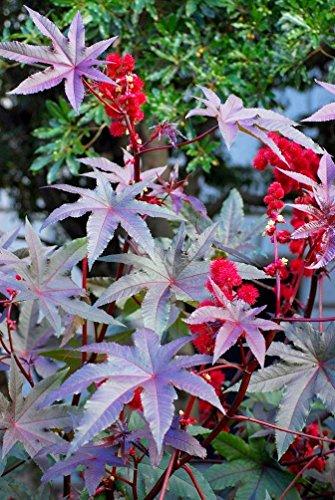 Rizinusöl Pflanze Neuseeland violett Samen - Ricinus communis
