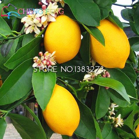 Bonsai arbres semences 20pcs jardin potager DIY livraison gratuite citron graines graines de fruits bonsaï plante