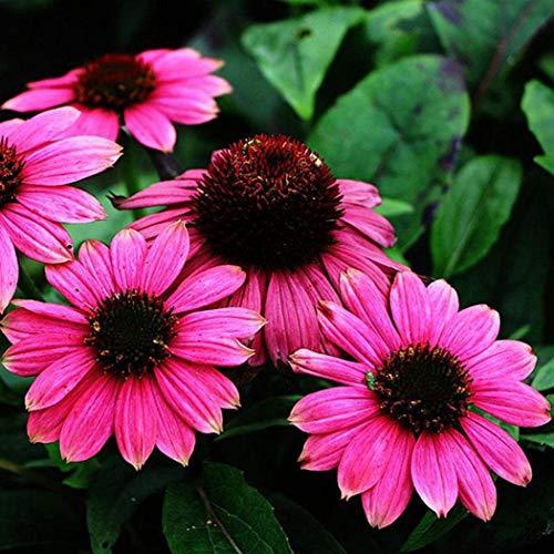 50/100/200 Stück Echinacea Samen Gänseblümchen Samen Sonnenhut Mehrjährige Blumensamen Garten Zwerg Bonsai (50pc,6)