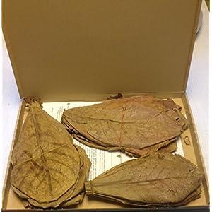 50-Stck-100-Gramm-20-25cm-Seemandelbaumbltter-Catappa-Leaves-TopQualitt-BLITZVERSAND