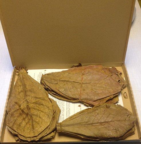 ~ 50 Stück (100 Gramm) 20-25cm - Seemandelbaumblätter Catappa Leaves TopQualität - BLITZVERSAND