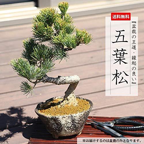 小品盆栽:五葉松(瀬戸焼変形鉢)*