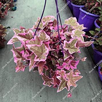 Vista Graines de plantes grimpantes rares Parthenocissus Tricuspidata semences à la maison jardin plantes ornementales Quatre saisons fleur 60 Pcs/sac 8