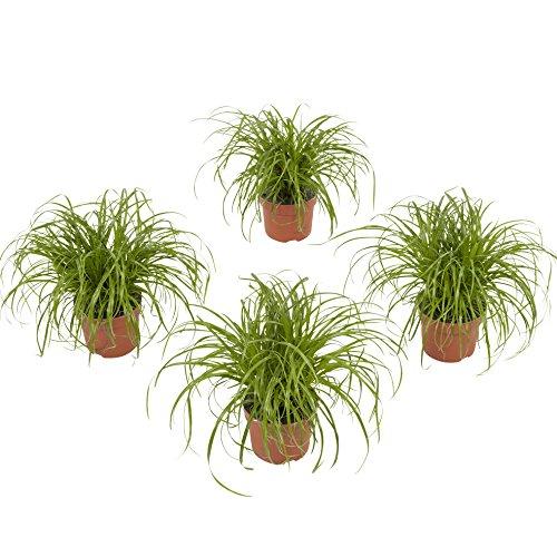 Gazon de Botanicly – 4 × Herbe à chat – Hauteur: 23 cm – Cyperus Alternifolius Zumula