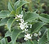 Fortunes Fragrant Tea Olive ( osmanthus ) - Live Plant - Trade Gallon Pot