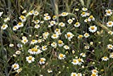 Asklepios-seeds® - 10.000 Semillas de Matricaria recutita Manzanilla de Castilla, manzanilla alemana, dulce o cimarrona (Matricaria recutita o Matricaria chamomilla)