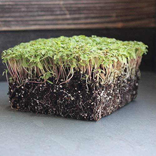 Semi organici: 1/4 oz: Edible SEMI Mari - -, microgreens -, Huacatay da Farmerly
