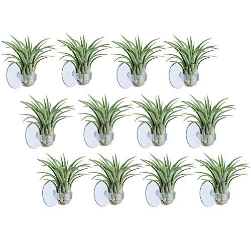 AIEVE - Supporto per Tillandsia, confezione da 12 pezzi, in vetro, con ventosa per appendere le piante, decorazione per la casa (piante non incluse)