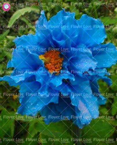 100PCS Rare bleu de l'Himalaya graines de pavot Belle vivace Graines de fleurs Nouveau style papillon attrayant pour jardin plante 6