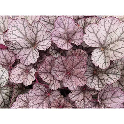 """Heuchera - Purpurglöckchen\""""Sugar Frosting\"""" - winterhart, im Topf 12 cm, in Gärtnerqualität von Blumen Eber - 12cm"""