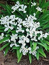 Perennial Farm Marketplace Iris c. 'Tennessee White' ((Dwarf Crested) Perennial, 1 Quart, Bright Snow Color Flowers