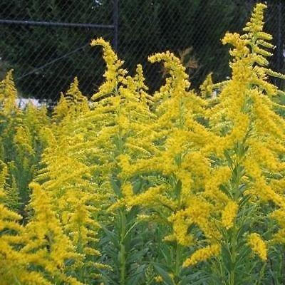 Goldrute Wildsamen (Solidago) 100 + Seeds