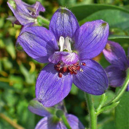 RETS Seeds: - Delphinium Staphisagria Seeds