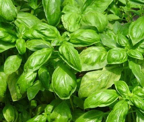 specialty shop Basil Sweet Ocimum Basilicum - 2 Super sale period limited 000 Bulk ct