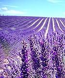 Semillas lavanda decorar macizos de flores de jardín cuidado simple flores brillantes fáciles de cultivar-300 pcs