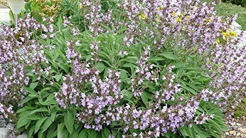 PLAT FIRM Germination Les graines: 100 - seeds: Feuillu Sage - feuilles gris-vert odorants et épis de fleurs mauves!