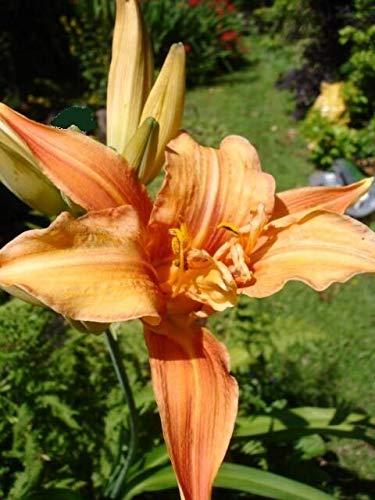 FERRY HOCH KEIMUNG Seeds Nicht NUR Pflanzen: Tawny orange Taglilien Hemerocallis Sommer-Blüte 3 Seeds