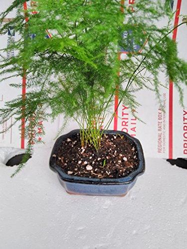 Jmbamboo - Fern Leaf Plumosus Asparagus Fern - Bonsai Pot 4x4x2 - Easy to Grow - Great Houseplant