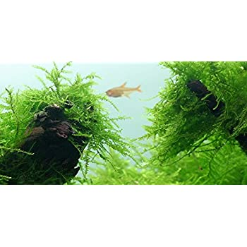 Java Moss - Vesicularia dubyana (4x6 cm) - Live Aquarium Plant