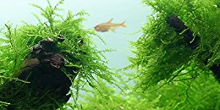 Java Moss - Vesicularia dubyana - Live aquarium plant