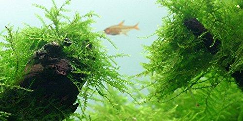 Java Moss - Vesicularia dubyana (4x6 cm) - Live Aquarium...