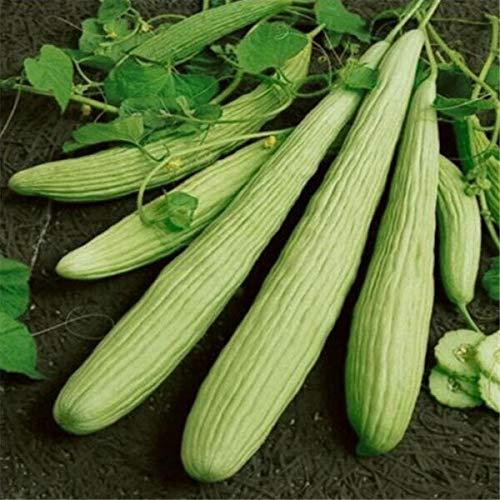Kalash New 20Pcs Gurke Gemüsesamen für Gartenhellgrün