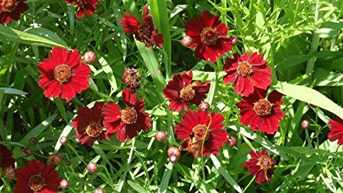 Semi- Dwarf Red Coreopsis Plains Flower Seeds,1500+ Premium Quality Seeds,90% Germination,Vibrant Bright Red Color! Exotic Beauty!,(Isla's Garden Seeds),Coreopsis Tinctoria