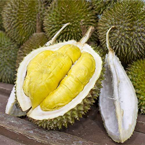 Soteer Garten - Selten Obst Samen verschidene Sorten von Obstsamen Wassermelone/Kirsche/Mango/Banane/Kiwi/Apfel/Orange/Japanische Wollmispel/Litschi usw. (10 Stück Durian Samen)