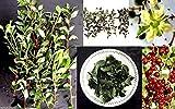 PLAT FIRM: 50 Lawsonia Inermis (Seed Seed), verwendet, um Farbe Haar, und