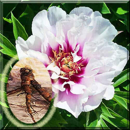 Live Plant- Peony - Flix Crousse Sarah Bernhardt Itoh Bartzella Cora Peony Live Plant Root itoh bartzella 2 Boots