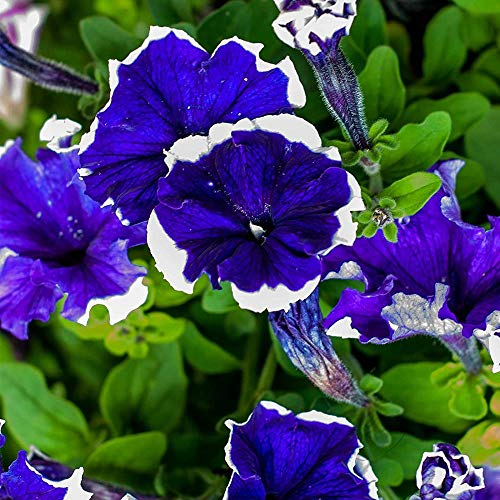200Pcs Petunia Seeds, Mixed Color Big Flower Home Garden Decoration, Blooming All Summer, Ideal Seeds for Hanging Flower Pots