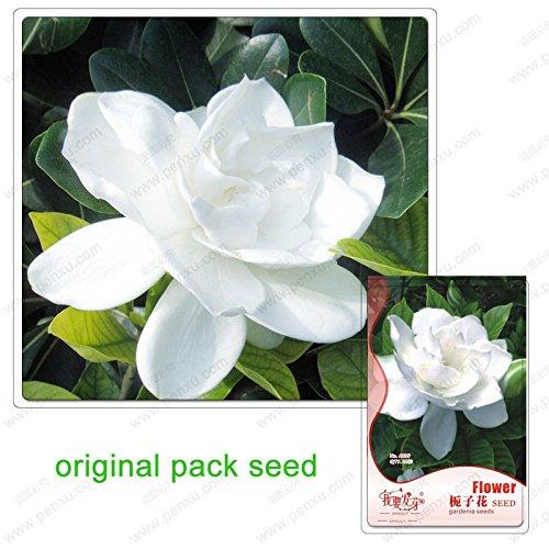 20 graines / Pack, graines gardénia, balcon famille jardin de bonsaïs en pot, de belles graines de fleurs de brousse blanc