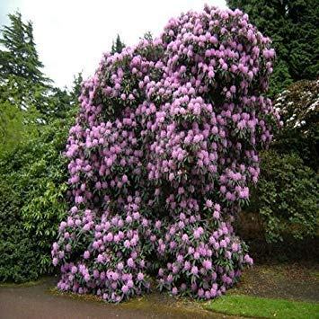 VISA STORE Rhododendron Fortunei Seeds (Rhododendron Fortunei) 50 + Seeds