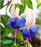 BALDUR Garten Winterharte Fuchsien 'Blue Sarah', 3 Pflanzen Gartenfuchsien Freilandfuchsien, Fuchsia
