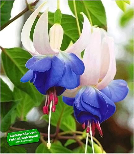 BALDUR Garten Winterharte Fuchsien 'Blue...