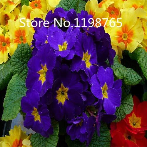 Violet: Promotion à prix spécial! 300 Primrose Seeds 10 Kinds Emballés Mixtes, Graines De Fleurs Germination Élevée De Jardin De Bricolage Blooming P