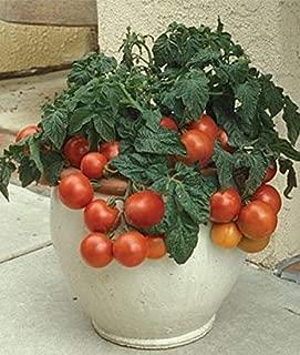 HIGH Germination Seeds:Patio Princess Hybrid Tomato 200 Seeds by Jays Seeds