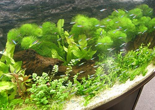 Mühlan – über 120 Aquarium-Pflanzen in 16 Bunde – großes farbiges Sortiment für 200 Liter Aquarium - 8