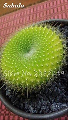 100 Pcs mixte vrai Cactus Seeds, Mini Cactus, Figuier, Graines Bonsai fleurs, vivaces herbes Plante en pot pour jardin 2