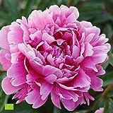 Paeonia lactiflora'Alexander Fleming' | Rosa Pfingstrose | Höhe 25-35cm | Topf-Ø 13cm