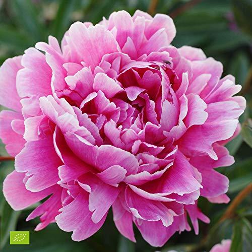 "Paeonia lactiflora ""Alexander Fleming"" | Rosa Pfingstrose | Höhe 25-35cm | Topf-Ø 13cm"