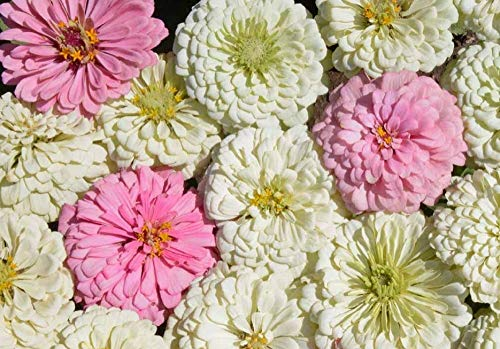 David's Garden Seeds Flower Zinnia Mixed Colors Blushing Bride 1135 (Multi) 200 Non-GMO, Open Pollinated Seeds