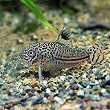(熱帯魚)コリドラス ジュリー【ブリード】(約3cm)<3匹>[生体]