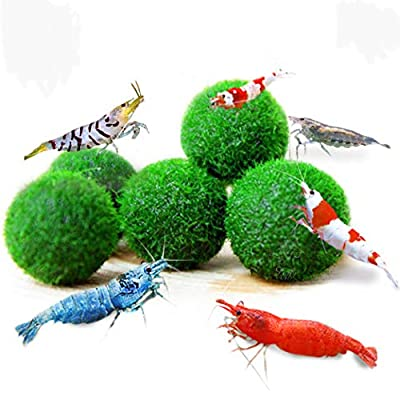 """Nano Marimo Moss Balls (0.6"""" Each), Provide Essential Nutrients, Clears Tank Water, Beautiful, Low Maintenance Aquatic Plants, Perfect for Shrimps to Play and Feed on, 6-Pack"""