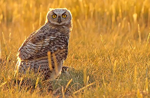 The Poster Corp Robert Postma/Design Pics – Immature Great Horned Owl Backlit In A Grass Field Saskatchewan Photo Print (43,18 x 27,94 cm)