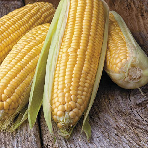 Honey Select Yellow Corn Hybrid Seeds, 50 Heirloom Seeds Per Packet, Sweet Corn, Fantastic Addition to Your Garden! (Isla