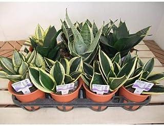 プランツネット 観葉植物 サンセベリア・ハニー MIXセット 4号 K0100016 11個入
