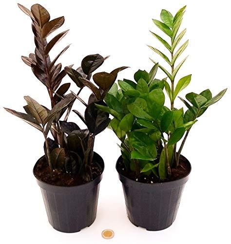 ZAMIOCULCAS NERA E VERDE, vaso 15CM, piante vere